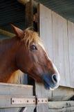 Brown-Pferd im Stall Stockbild