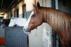 Brown-Pferd im Stall lizenzfreie stockbilder