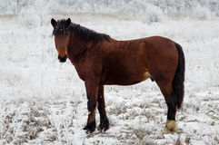 Brown-Pferd im Winter Stockfotos
