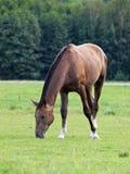 Brown-Pferd lässt auf grüner Wiese weiden Stockfoto