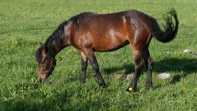 Brown-Pferd lässt weiden Lizenzfreies Stockbild