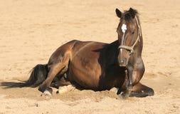 Brown-Pferd legt sich hin Stockfoto