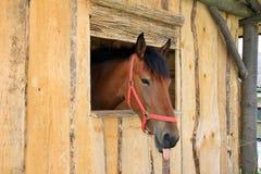 Brown-Pferd mit der Zunge Lizenzfreie Stockfotos