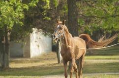 Brown-Pferd mit einer weißen Flamme Stockbild