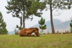 Brown-Pferd mit Gebirgshintergrund stockbilder