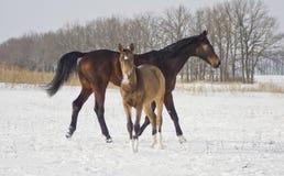 Brown-Pferd mit ihrem Fohlen geht in den Schnee Stockfoto