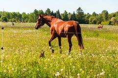 Brown-Pferd mit kleinem braunem Hund auf dem Gebiet Stockbilder
