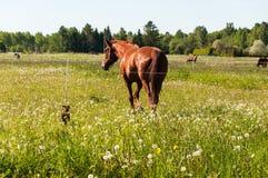 Brown-Pferd mit kleinem braunem Hund auf dem Gebiet Stockfoto