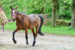 Brown-Pferd mit weißem Flecken auf Nase Stockfotografie