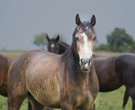 Brown-Pferd mit weißem Punkt Stockbild