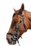 Brown-Pferd mit Zaum Stockbilder