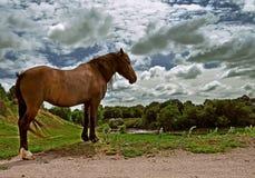 Brown-Pferd steht auf dem Gras auf den Banken des Flusses unter einer Wolke des Himmels stockfoto