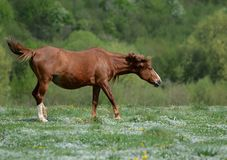 Brown-Pferd tanzt auf eine grüne geblühte Wiese unter Wäldern, um von Belästigungsfliegen zu entgehen stockfotos