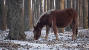 Brown-Pferd in Winter-Wald 1 stock video footage