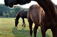 Brown-Pferde Lizenzfreies Stockbild