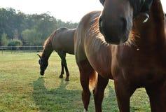 Brown-Pferde Lizenzfreies Stockfoto