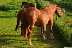 Brown-Pferde, die auf einem Feld, Norfolk, Baconsthorpe, Vereinigtes Königreich weiden lassen Lizenzfreie Stockfotografie