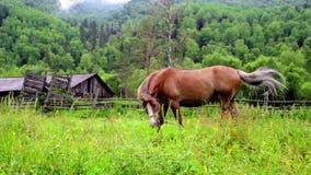Brown-Pferde, die in der Bergwiese weiden lassen stock video
