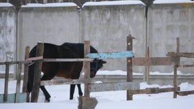 Brown-Pferde, die in eine offene Koppel im Winter galoppieren stock video