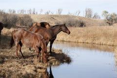 Brown-Pferde, die vom Strom trinken Stockfotos