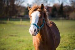 Brown-Pferde an einem sonnigen Tag im automn Stockfotografie