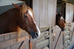 Brown-Pferde im Stall Stockfotos