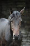 Brown-Pferdeabschluß herauf Porträt Stockfotos