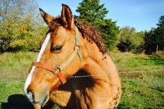 Brown-Pferdeaufstellung Lizenzfreie Stockfotografie