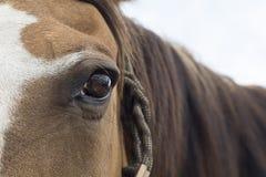 Brown-Pferdeauge und -mähne Stockfotografie