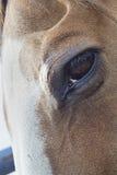 Brown-Pferdeauge und -mähne stockbilder