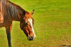 Brown-Pferdeessen Lizenzfreies Stockfoto