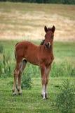 Brown-Pferdefohlen lizenzfreies stockfoto