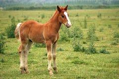 Brown-Pferdefohlen stockfoto