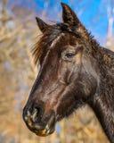 Brown-Pferdekopf Lizenzfreie Stockbilder