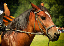 Brown-Pferdekopf Stockfoto