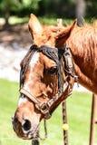 Brown-Pferdekopf Lizenzfreies Stockfoto
