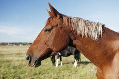 Brown-Pferdekopf Lizenzfreie Stockfotos