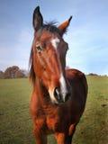 Brown-Pferdenahaufnahme-Kopf Stockbild