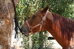 Brown-Pferdenkopf Stockbild
