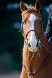Brown-Pferdenportrait Lizenzfreies Stockfoto