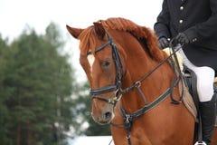 Brown-Pferdeportrait mit Zaum Stockbilder
