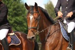 Brown-Pferdeportrait mit Zaum Lizenzfreie Stockfotos