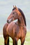 Brown-Pferdeportraitstellungsabschluß oben Stockfoto