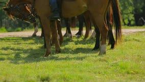 Brown-Pferdeschlangestehen auf grüner Wiese stock footage