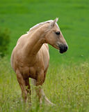 Brown piękny Blady Koń Obrazy Royalty Free