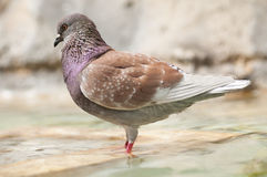 Brown pidgeon taking a bath Royalty Free Stock Image