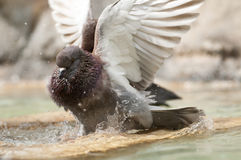 Brown pidgeon taking a bath Royalty Free Stock Photography