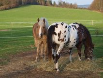Brown and piebald horse eating hay. South Bohemia stock photo