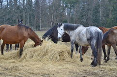 Brown and piebald horses eating hay Stock Images