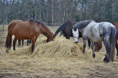 Brown and piebald horses eating hay Royalty Free Stock Photo